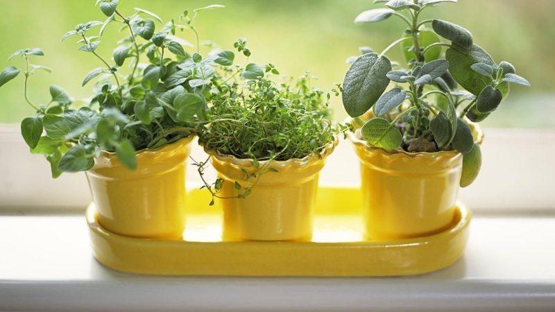 Сажаем съедобные травы дома